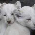 Three white lion cubs are presented to the public at the city zoo in Buenos Aires, Argentina on Wednesday. They are the first white lions to be born in South America.