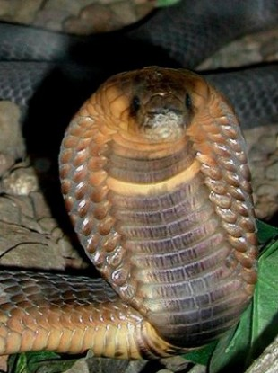 An adult cobra snake