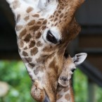Only five days old, the giraffe calf will make his first appearance in the African Savanna this Saturday to celebrate Africa Day.