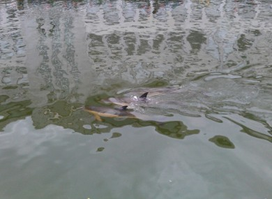 The three dolphins photographed in the River Lee, Cork City Centre, on 11 July