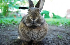 Hero rabbit saves family's life – but dies afterwards