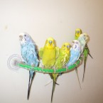 A Flock of Budgies (Band name?)... Photo: Budgiejen via Flickr