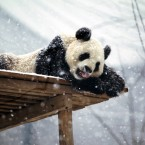 A panda is seen during a snowfall at Yantai Zoo on December 15, 2011 in Yantai, Shandong Province of China. (Photo by Shi Liguo/ChinaFotoPress)***_***423926279