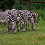 These three zebras are world champions in the 'Synchronised Eating of Grass' competition. The other fella at the end? Not so much. (corey leopold/Flickr)