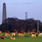 Deer in the Phoenix Park Dublin last night with the Wellington monument and Poolbeg towers in the background Pic:Marc O'Sullivan