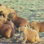 So. Many. Capybaras.