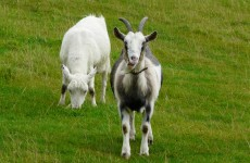 Travelling on the M7? Watch out for those goats
