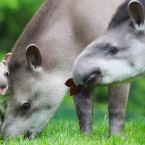 Tapirs are native to the tropics of South and Central America.