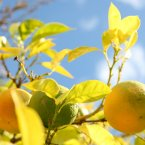 Citrus fruits generate their own electron-producing acids that can be used to power LEDs. Source: Illinois.edu (Pic: Stephen Pond/EMPICS Sport/PA Wire)
