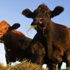 Farmers are converting the methane from their herds' waste and converting it to energy. (Pic: AP Photo/Seth Perlman)