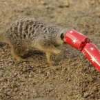 Zoo's kind of spoil their meerkats, no? (Image: AP Photo/Matt Dunham)