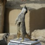 This London Zoo meerkat needed some extra weight, pronto. (Image: AP Photo/Alastair Grant)