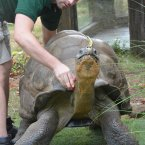 Dirk the galapagos tortoise gets his giant shell measured by keeper Grant Kother. (Image: London Zoo)
