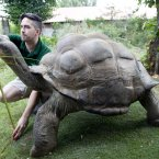 Dirk the giant tortoise is weighed and measured.