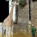 A giraffe is measured. (Image: Rebecca Naden/PA Wire)