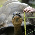 A Galapagos giant tortoise sits still long enough to be measured. (Image: Rebecca Naden/PA Wire)