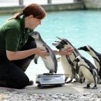 Hold your turn. Mad for the weigh-ins, those penguins. (Image: Rebecca Naden/PA Wire)