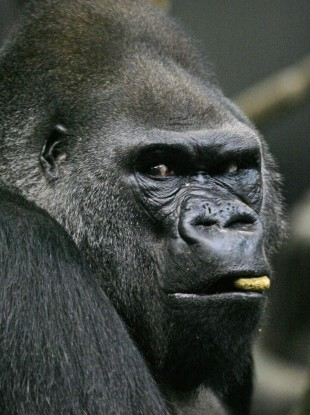 A western lowland gorilla munches on a monkey chow biscuit in Chicago Zoo.