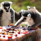 Lemurs at Edinburgh Zoo are presented with a birthday cake to mark the 100th anniversary of the Royal Zoological Society of Scotland, the charity which owns the Zoo. (David Cheskin/PA Wire)