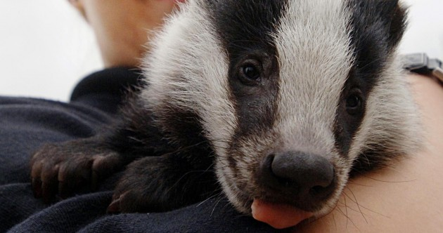 It's Friday so here's a slideshow of badgers from around the world