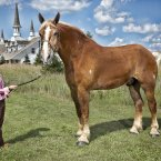 The tallest living horse is Big Jake, a nine-year-old Belgian Gelding horse, who measured 20 hands 2.75 in (210.19 cm, 82.75 in), without shoes, at Smokey Hollow Farms in Poynette, Wisconsin, USA. Jakes features in the new Guinness World Records 2013 book out now.