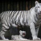 Three white Indian tiger cubs, born on July 1, 2012  in Liberec, Czech Republic. (AP Photo/Petr David Josek)