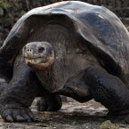 A giant land turtle walks in Galapagos National Park in Puerto Ayora on Santa Cruz Island in the Galapagos, Ecuador. We're told he's a gentle giant. (AP Photo/Dolores Ochoa)