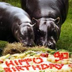 A mother and baby Hippo tuck into a birthday cake at Edinburgh Zoo. The Zoo was celebrating its 90th birthday, having opened its gates in 1913 to become Scotland`s first national Zoo. (David Cheskin/PA Archive/Press Association Images)