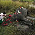 A villager offers flowers to a female adult elephant lying dead on a paddy field in Panbari village, about 50 kilometers east of Gauhati, India. The elephant, who was crossing a railway line with a herd of wild Asiatic elephants, was killed after being hit by a speeding train. (AP Photo/Anupam Nath)