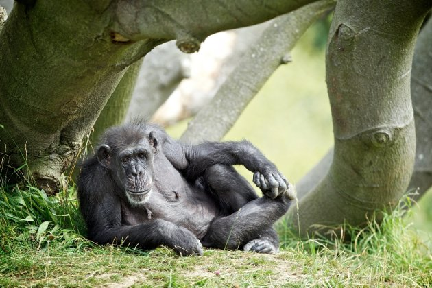 NO REPRO FEE - 10.09.12This week Dublin Zoo, a not-for-profit organisation, team up with Age Action Ireland for Positive Ageing Week 2012 to celebrate chimpanzees Betty and Wendy?s 50th birthday. On Wednesday, 12th September, Dublin Zoo will offer complimentary entry to visitors age 50 and over. Visitors will enjoy extra keeper talks, tours and storytelling. Betty and Wendy are the oldest members of the chimpanzee family at Dublin Zoo.  They arrived in 1965 when both chimps were three years old and have lived at Dublin Zoo ever since. The chimps have grown up together and have formed a very special bond.