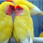 A pair of parrots kiss each other in their cage in Beijing, China