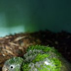 The same Puerto Rican parrot chick at two weeks. (AP Photo/Ricardo Arduengo)