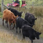 Crofter Iain Macdonald from Staffin on Skye herds up his his  his cows before taking them to their Island grazing ground for the winter 