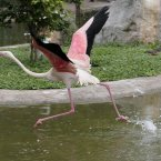 A flamingo prepares to take flight at the Kuala Lumpur Bird Park, Malaysia. (AP Photo/Mark Baker)