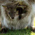 Joey Levi sits in his mother Olivia's pouch at Blair Drummond Safari Park.