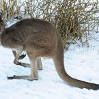 A kangaroo sits in the snow inside its enclosure at Flamingo Land Zoo, Pickering, North Yorkshire as the cold weather continues.