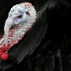 male turkey or a 'gobbler' is pictured on Gerry McEvoy's turkey farm today in Sallins, Co. Kildare preparing for the Christmas season. 