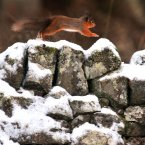 A Red Squirrel dashes across a snow covered wall in Norrthumberland (PA/Owen Humphreys)