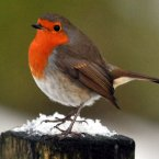 A robin sits on some snow in Northumberland today (PA/Owen Humphreys)
