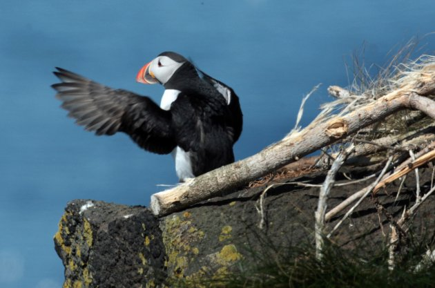 Conservation project to reinstate puffins
