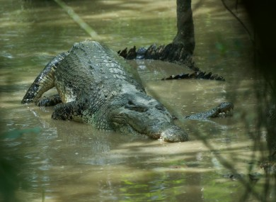 A crocodile: a more common sight than usual in South Africa at the moment.