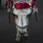 A donkey is decorated with flowers during the Vijanera Festival in Silio, northern Spain. The Vijanera masquerade, of pre-Roman origin, is the first carnival of the year in Europe symbolising the triumph of good over evil and involving the participation of crowds of residents wearing different masks, animal skins and brightly coloured clothing with its own complex function and symbolism and becoming the living example of the survival of archaic cults to nature. (AP Photo/Daniel Ochoa de Olza)