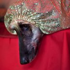 He's wishing he could just crawl inside that glittery hood forever.(AP Photo/Ramon Espinosa)