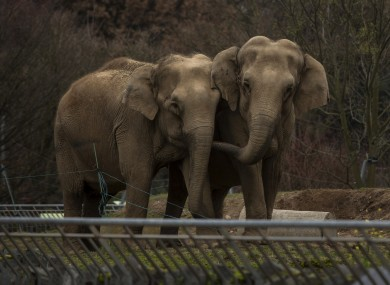 Baby and Nepal, two elephants suffering from tuberculosis, stand in their enclosure at the Parc de la Tete d'Or Zoo in Lyon.
