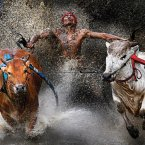 A jockey, his feet stepped into a harness strapped to the bulls and clutching their tails, shows relief and joy at the end of a dangerous run across rice fields. The Pacu Jawi (bull race) is a popular competition at the end of harvest season keenly contested between villages in west Sumatra, Indonesia. (Image: Wei Seng Chen)