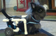 Stop what you're doing and look at this rabbit in a wheelchair