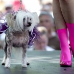 This dog is wearing a tutu. This indignity. (AP Photo/The Canadian Press, Michelle Siu)