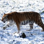 Bela the eleven year old Amur tiger explores her enclosure in the snow at Blair Drummond Safari Park.