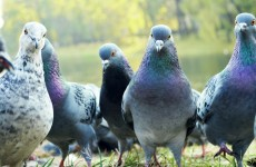 Pigeons force Aer Lingus flight to abandon trip to London