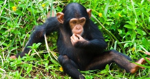 US wildlife agency to list all chimpanzees as endangered